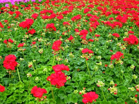 On One Possible Solution: 50,000 Geraniums